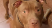 Red_Nose_Pit_Bull