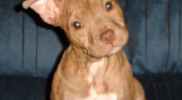 red_nose_pitbull_puppy_2017-05-08_2154